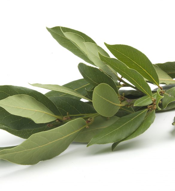 Isolated fresh green branch of laurel on the white